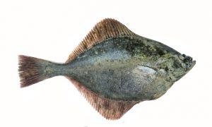 fladra memo Ryby. Świat wokół nas
